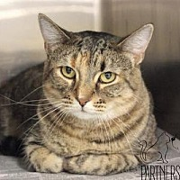 Domestic Shorthair Cat for adoption in Troy, Illinois - Cougar Fostered (Tammy B)