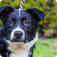 Border Collie/Labrador Retriever Mix Puppy for adoption in San Diego, California - Piano Puppies - Males