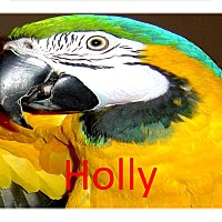 Adopt A Pet :: Holly Special Blue & Gold Mac - Vancouver, WA
