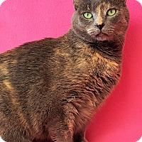 Adopt A Pet :: Callista - Colorado Springs, CO
