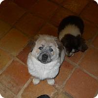 Adopt A Pet :: Osito - dewey, AZ