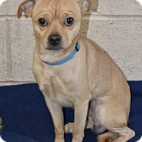 Pug Mix Dog for adoption in Greensburg, Pennsylvania - Roscoe