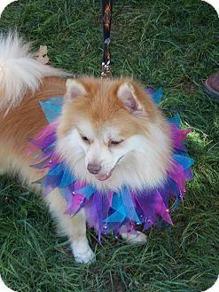 Pomeranian Dog for adoption in Hesperus, Colorado - LEO