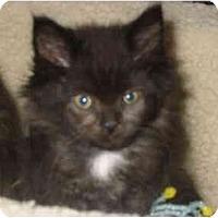 Adopt A Pet :: Chewbaka - Syracuse, NY