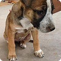 Adopt A Pet :: Caroline - Gilbert, AZ