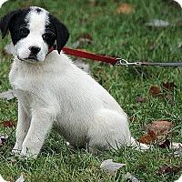 Adopt A Pet :: Niklas - Brattleboro, VT