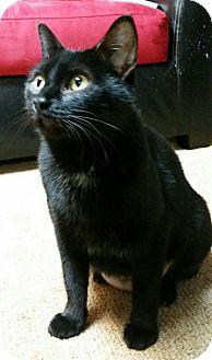Domestic Shorthair Cat for adoption in Des Moines, Iowa - Naomi
