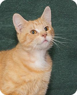 Domestic Shorthair Cat for adoption in Elmwood Park, New Jersey - Taffy