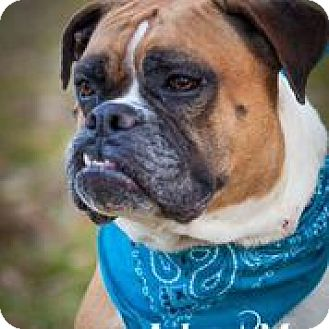 American Bulldog/Boxer Mix Dog for adoption in Dallas, Texas - Maggie