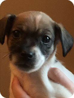 Rat Terrier/Schnauzer (Miniature) Mix Puppy for adoption in Lancaster, Kentucky - Winkie