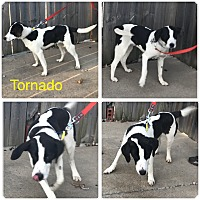 Adopt A Pet :: Tornado - Garden City, MI