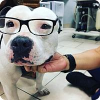 Adopt A Pet :: Bhaji (LC) - Santa Ana, CA