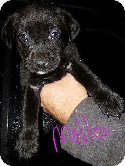 Labrador Retriever Mix Puppy for adoption in Niagra Falls, New York - Mollee