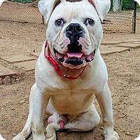 Adopt A Pet :: Calvin - Lawrenceville, GA