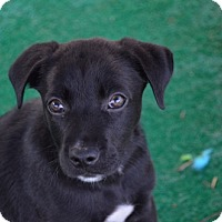Adopt A Pet :: Nixon - Athens, AL