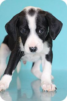 Beagle Mix Puppy for adoption in Waldorf, Maryland - Marvin