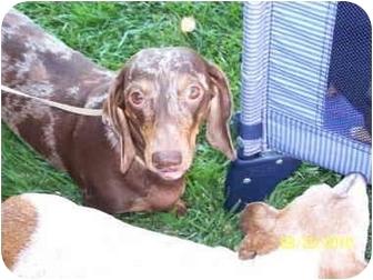 Dachshund Dog for adoption in Garden Grove, California - Snickers
