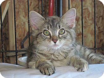 Domestic Shorthair Kitten for adoption in Warren, Ohio - Chelsea