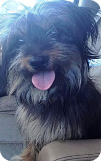 Terrier (Unknown Type, Small)/Yorkie, Yorkshire Terrier Mix Dog for adoption in Mission Viejo, California - SAVANNAH