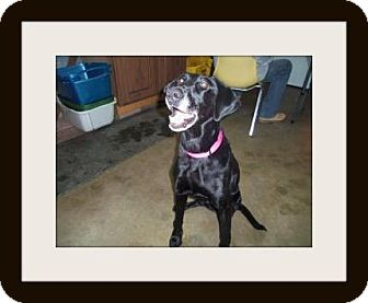 Labrador Retriever Mix Dog for adoption in Medford, Wisconsin - LACEY