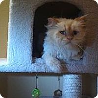 Adopt A Pet :: Snowflake - New York, NY