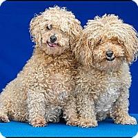 Adopt A Pet :: Coco - Denver, CO