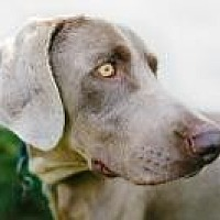 Weimaraner Dog for adoption in Sun Valley, California - Vince