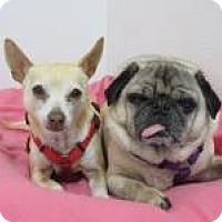 Chihuahua/Pug Mix Dog for adoption in Quilcene, Washington - Min/Baxter