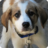 Adopt A Pet :: Aurora - Kyle, TX