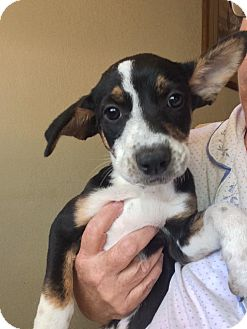 Australian Cattle Dog/Border Collie Mix Puppy for adoption in Cave Creek, Arizona - Gia