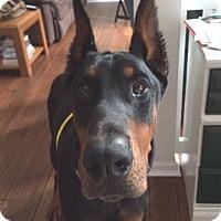 Adopt A Pet :: Apollo - Arlington, VA