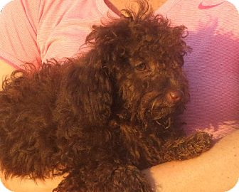 Poodle (Miniature) Puppy for adoption in Rochester, New York - Lyza
