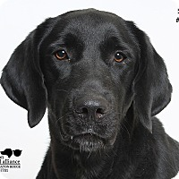 Adopt A Pet :: Shelby #72263 - Baton Rouge, LA