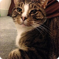 Adopt A Pet :: Baby Kitty - Horsham, PA