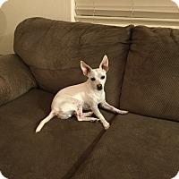 Adopt A Pet :: Cool Hand Luke - Las Vegas, NV