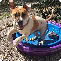 Adopt A Pet :: Achilles - Boca Raton, FL