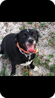 Chihuahua Mix Dog for adoption in Loxahatchee, Florida - LucyLu