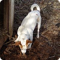 Adopt A Pet :: little girl-$150 - Staunton, VA