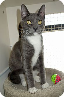 American Shorthair Cat for adoption in Palo Cedro, California - Jayden
