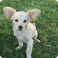 Adopt A Pet :: Lilly - Dallas, TX