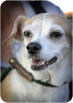 Chihuahua Dog for adoption in Canoga Park, California - D.J.