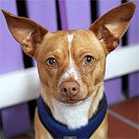 Chihuahua Mix Dog for adoption in Pacific Grove, California - Simba
