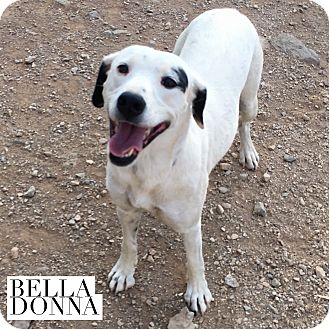 Dalmatian/Shepherd (Unknown Type) Mix Puppy for adoption in Acton, California - Bella Donna