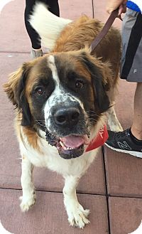 St. Bernard Dog for adoption in Denver, Colorado - Anthem