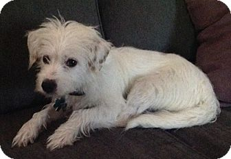 Terrier (Unknown Type, Small) Mix Dog for adoption in Alpharetta, Georgia - Izzy