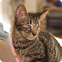Adopt A Pet :: Sparrow - Huntsville, AL