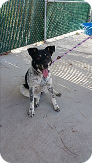 Border Collie/Cattle Dog Mix Dog for adoption in Reno, Nevada - Eloise