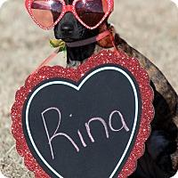 Adopt A Pet :: Rina - Broken Arrow, OK