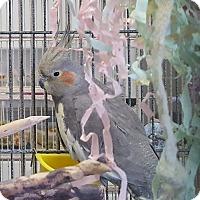 Adopt A Pet :: Nikki Lee - Grandview, MO
