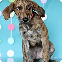 Adopt A Pet :: Brinkley - Waldorf, MD